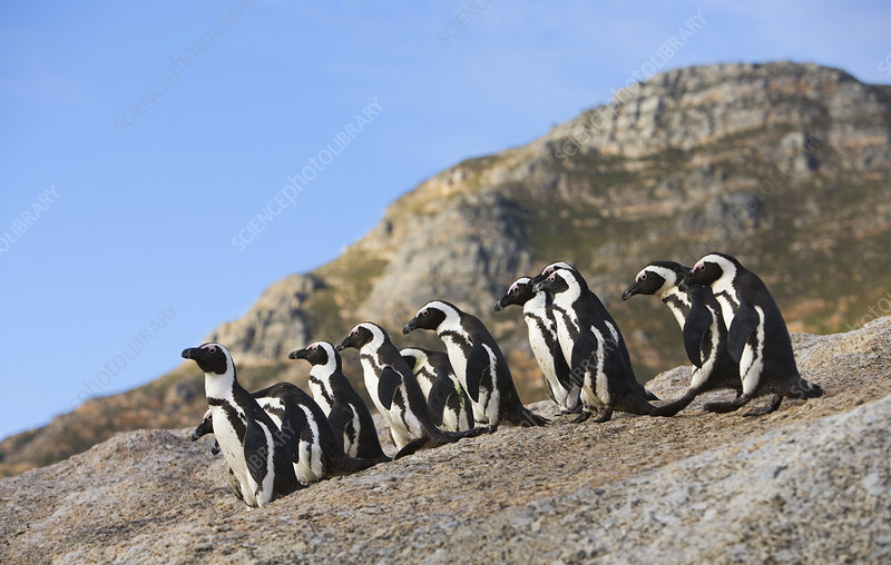Jackass, Black footed penguin group on rocks, South Africa
