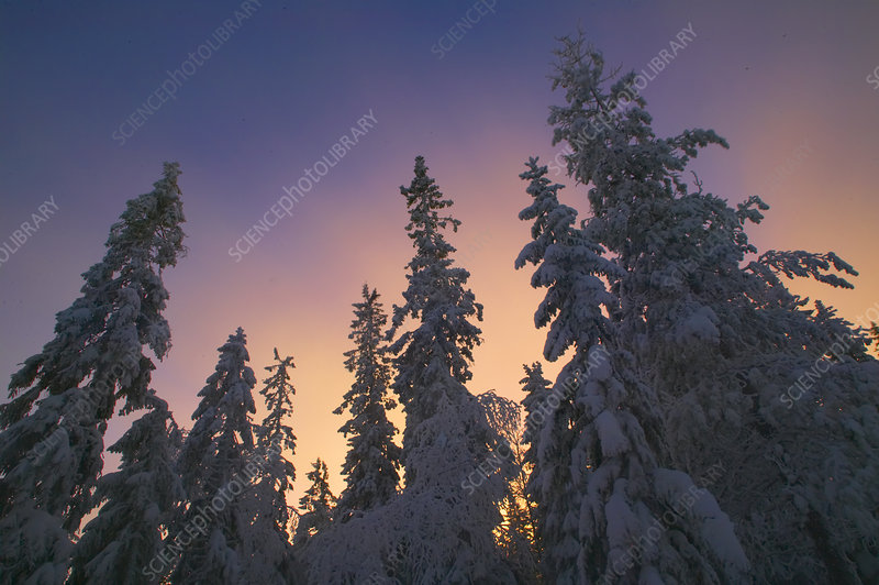 Late afternoon light in the sky above snow-laden forest