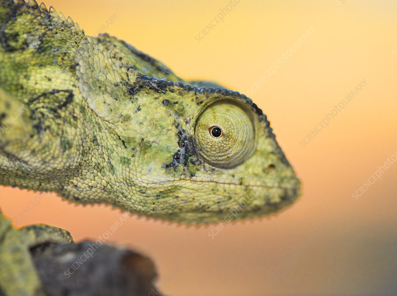Flap necked chameleon close-up of head