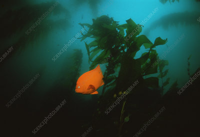Garibaldi fish in kelp forest, California, USA