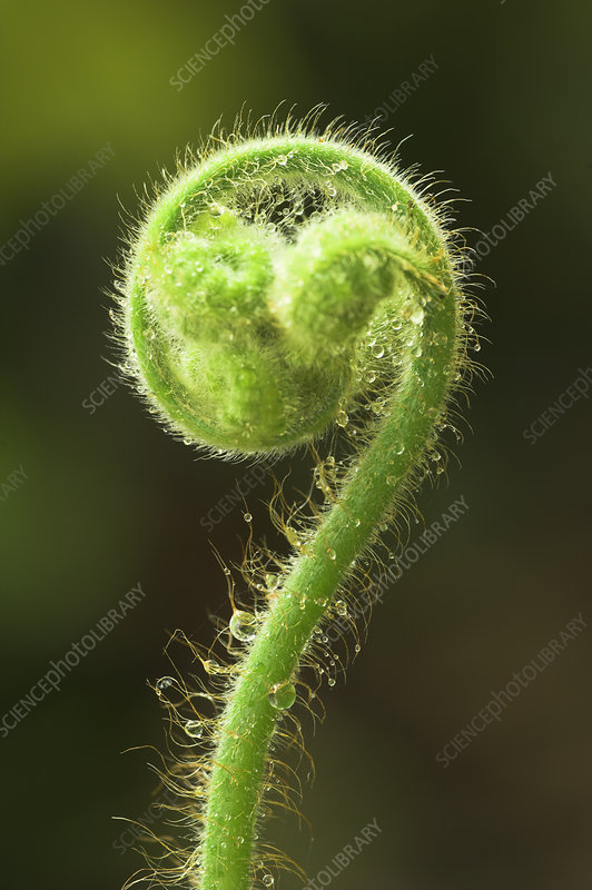 Tree fern (Cyatheaceae) young shoot with dew