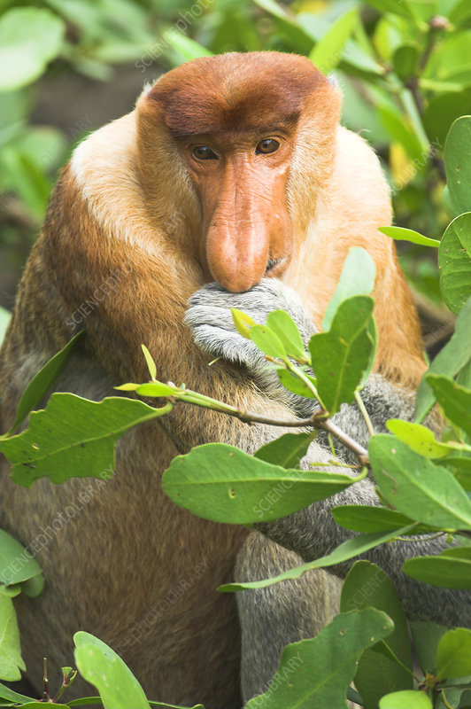 Proboscis Monkey adult male, feeding on mangroves