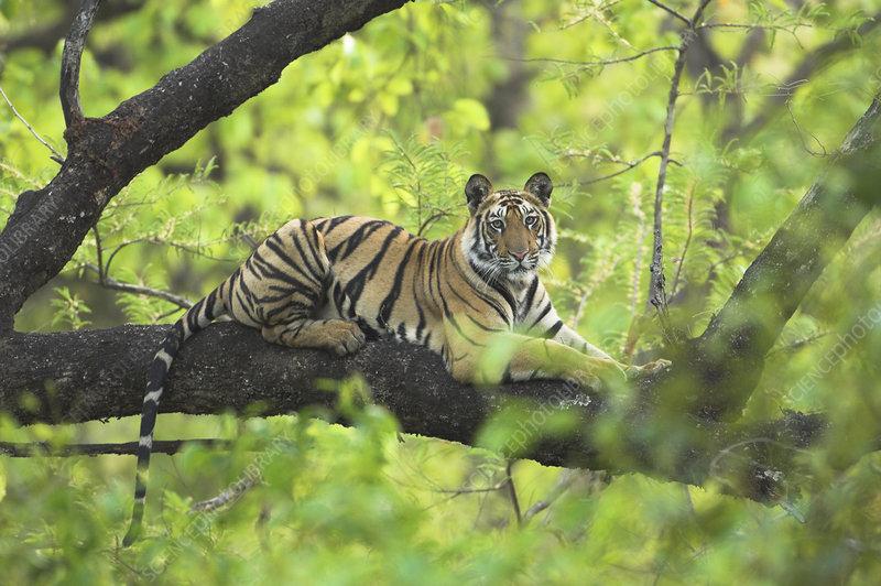 Tiger cub resting in tree