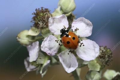 Seven-spot Ladybird on Bramble flower