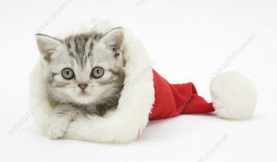 Tabby kitten in a Father Christmas hat