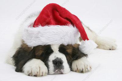 Saint Bernard puppy asleep wearing a Father Christmas hat