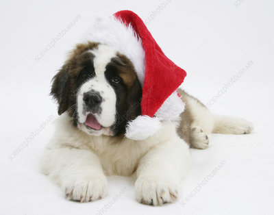 Saint Bernard puppy wearing a Father Christmas hat