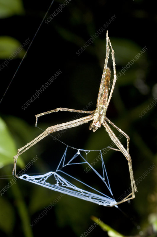 Net casting spider lying in ambus