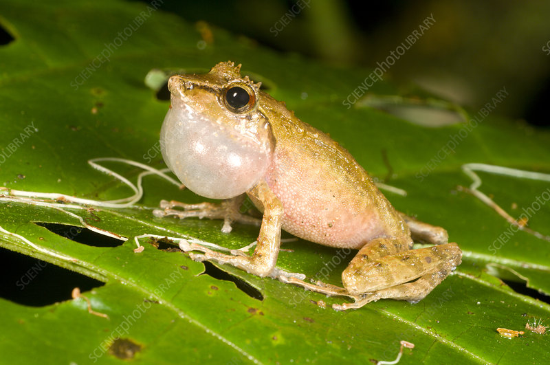 Male Rainforest Treefrog calling at night