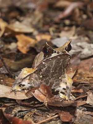 Bornean Horned Frog on rainforest floor