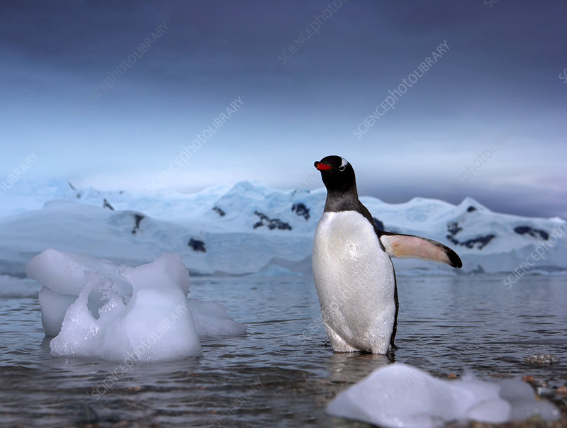Gentoo penguins emerging from the sea, Antarctica