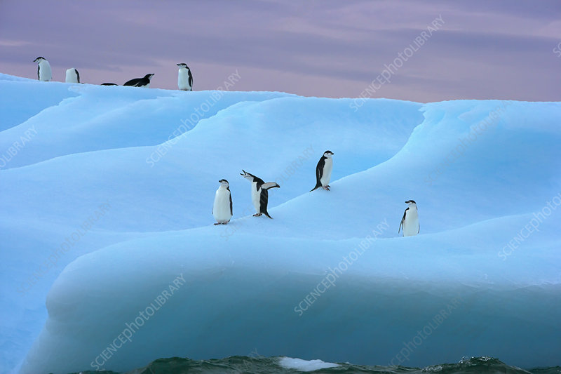 Chinstrap penguin group on iceberg, Antarctic Peninsula
