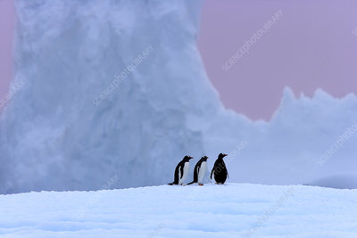 Gentoo penguin group on iceberg, Antarctica