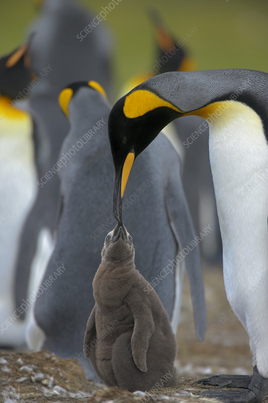 King penguin adult feeding chick in colony, Falkland Islands