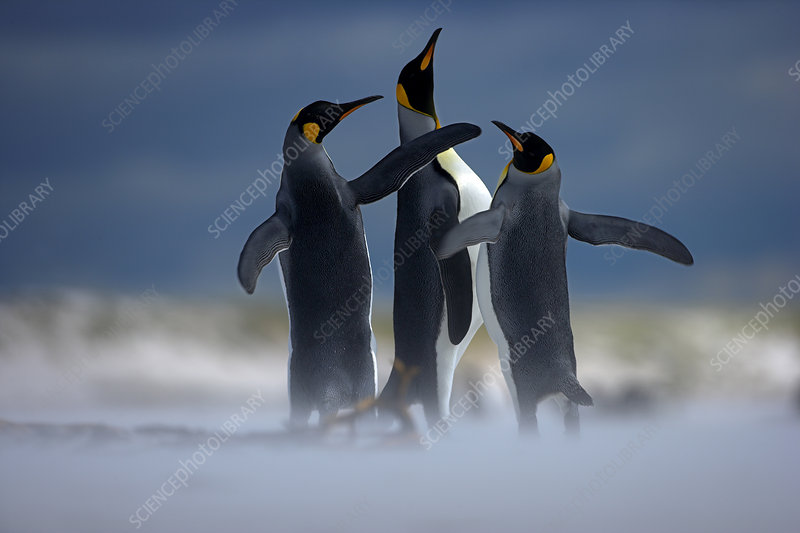 King penguin males displaying on beach, Falkland Islands