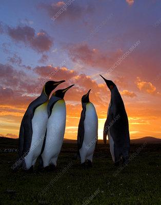 King penguin courtship group at sunset, Falkland Islands
