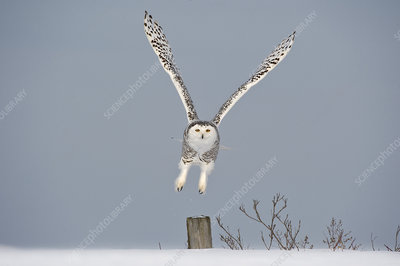 Snowy owl taking off from post, Canada