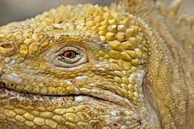Galapagos land iguana close up