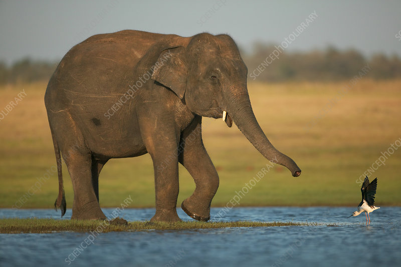 Asian Elephant with Black winged stilt showing aggression