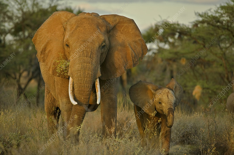 African elephant mother and calf, Mala Mala, South Africa