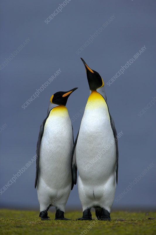 King penguin male and female, courtship posture