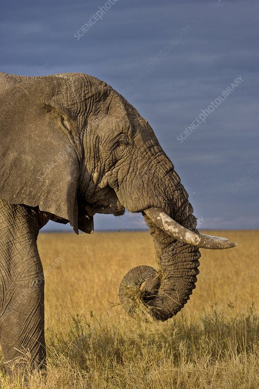 African elephant bull feeding on savanna, Masai Mara, Kenya