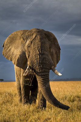African elephant bull on savanna, Masai Mara, Kenya