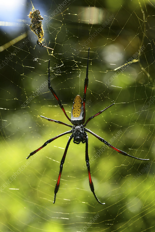 Giant spider on web with prey wrapped up, Madagascar