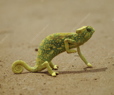 Graceful chameleon lifting front leg to keep it cool