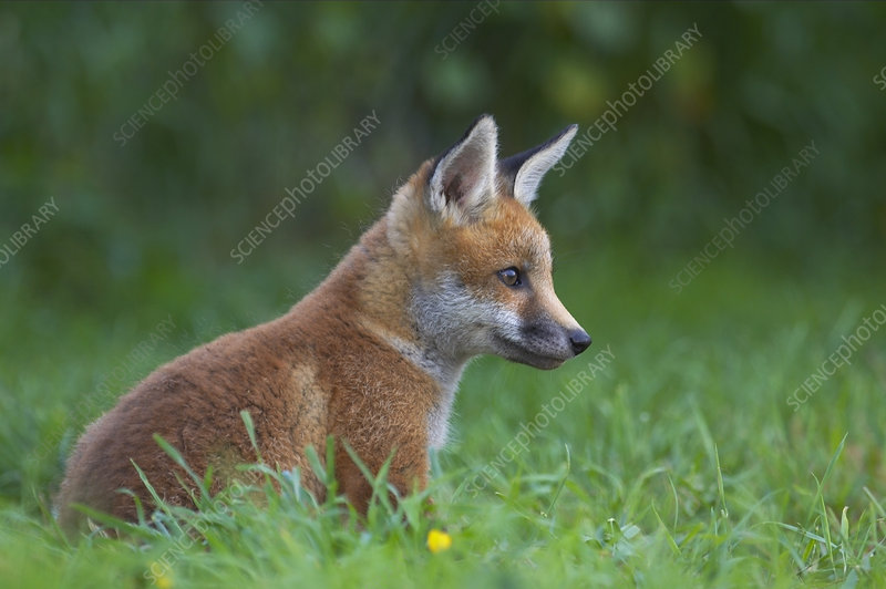 Red fox cub sitting outside earth, UK