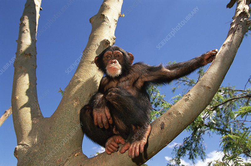 Chimpanzee sitting in tree