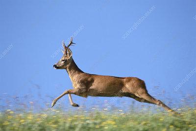 Roe deer buck chasing female during rut, Wiltshire, UK