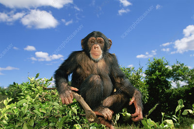 Chimpanzee sitting at the top of a tree