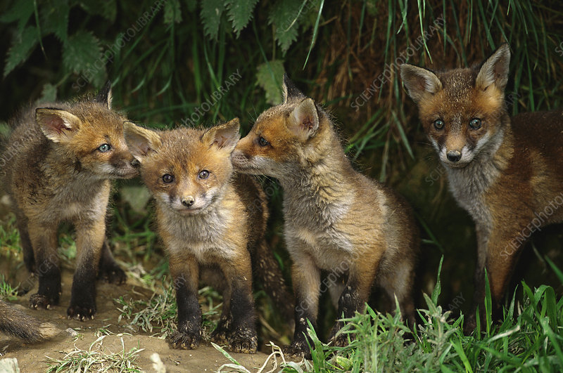 Four European red fox cubs playing outside
