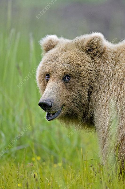 Grizzly bear grazing in meadow, Katmai Coast, Alaska, USA