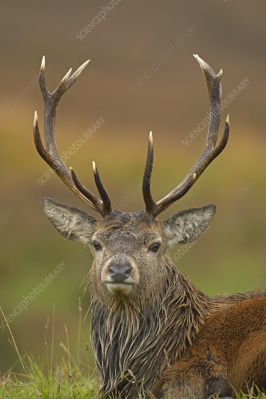 Red deer stag, during rut, Scotland, UK