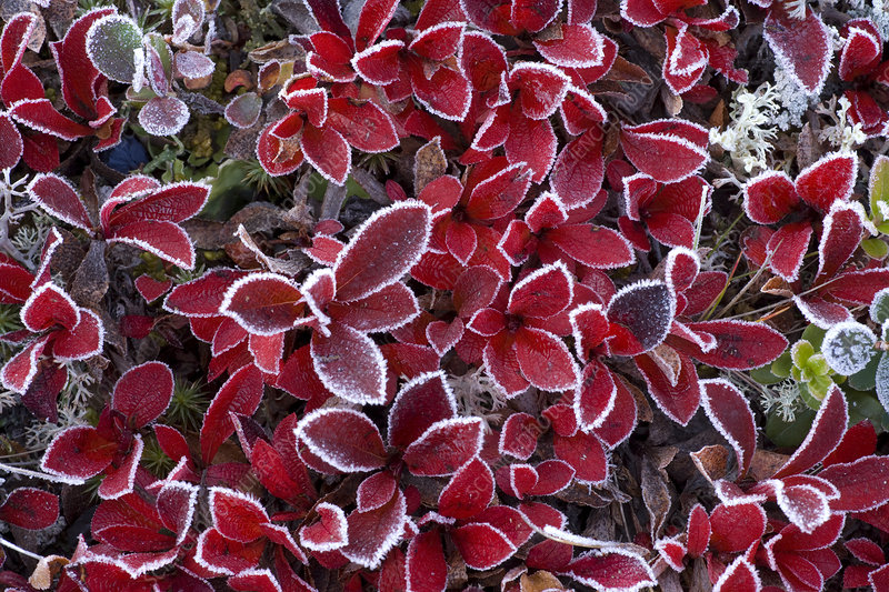 Mountain bearberry (Arctous alpinus) covered in frost