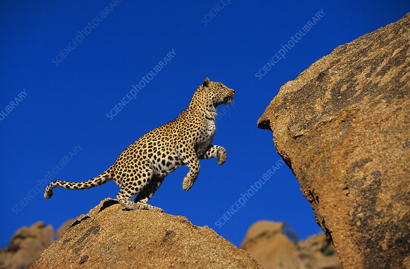 Leopard jumping between rocks, Namibia