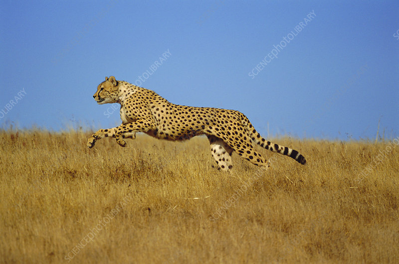 Cheetah running, Kenya