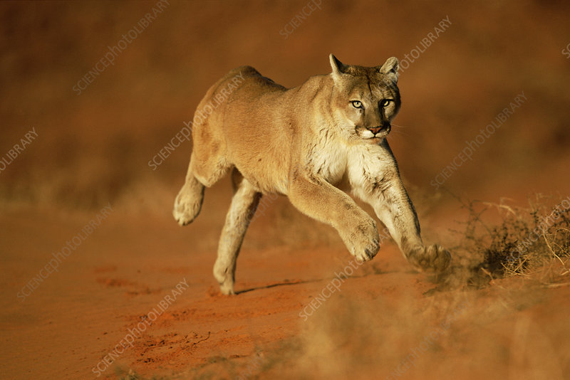 Mountain lion, Puma running