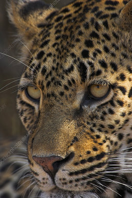 Leopard face, South Africa