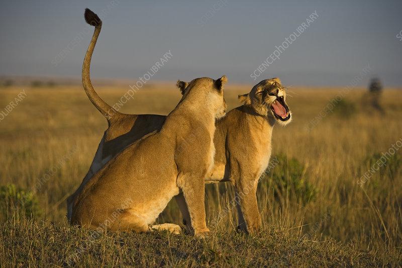 African lion females greeting, Kenya