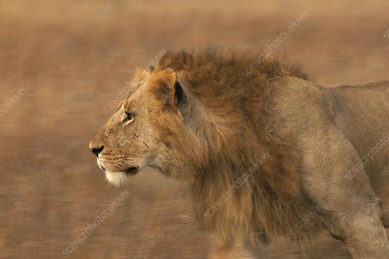 Male African lion running, Masai Mara, Kenya