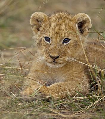 African lion cub, Masai Mara, Kenya, Africa