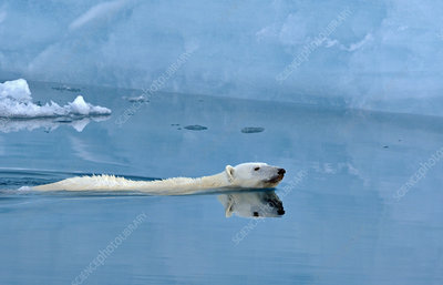Polar bear swimming in front of ice cliff