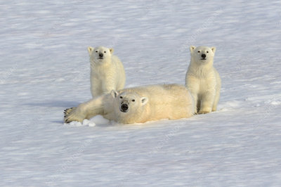 Polar bear mother rolling in snow with new year cubs