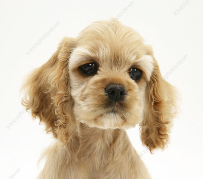 Buff American Cocker Spaniel puppy