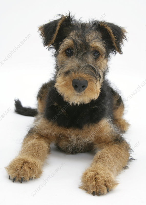 Airdale Terrier bitch puppy