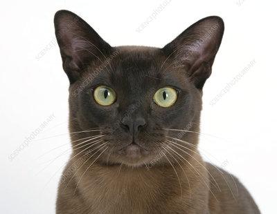 Brown Burmese male cat