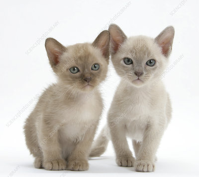 Two lilac Burmese kittens